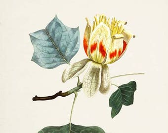 Tulip Tree Art Print, Botanical Art Print, Flower Wall Art, Flower Print, Floral Print, Tulip Art, yellow red