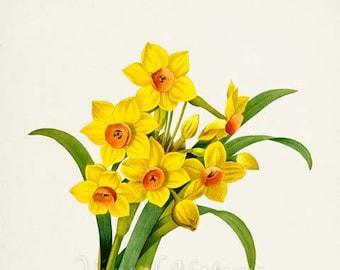 Daffodil Flower Art Print, Botanical Art Print, Flower Wall Art, Flower Print, Floral Print, yellow, green