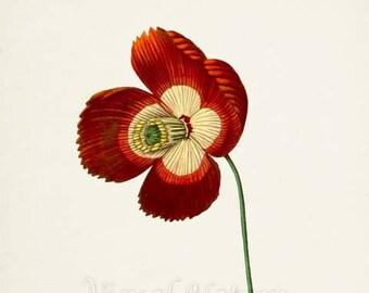 Breadseed Poppy Flower Art Print, Botanical Art Print, Flower Wall Art, Flower Print, Floral Print, Red Poppy Art Print