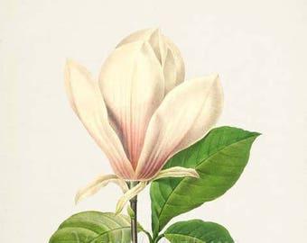 Magnolia Flower Art Print, Magnolia Soulangiana Botanical Art Print, Flower Wall Art, Flower Print, Floral Print, Redoute Art, white, green