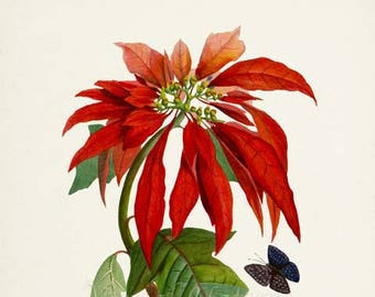 Poinsettia Flower Art Print, Botanical Art Print, Flower Wall Art, Flower Print, Red Flower Art Print, Home Decor, Christmas flower
