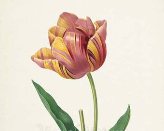Tulip Flower Art Print, Botanical Art Print, Flower Wall Art, Flower Print, Floral Print, Redoute Art, red, yellow, Tulipa culta