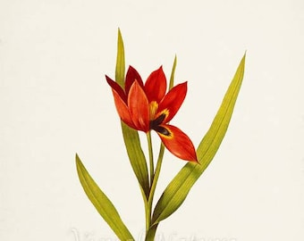 Eyed Tulip Flower Art Print, Botanical Art Print, Flower Wall Art, Flower Print, Floral Print, Red Tulip Art Print