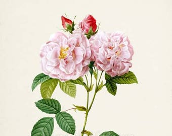 Botanical Print Damask Roses Flower Art Print, Rose Botanical Art Print, Flower Wall Art, Flower Print, Floral Print, pink