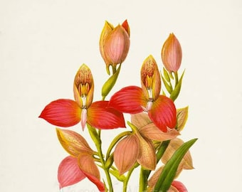 Disa Orchid Flower Art Print,  Orchid Botanical Art Print, Flower Wall Art, Flower Print,Floral Print,red pink orchid art print
