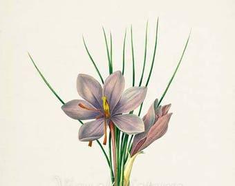 Saffron crocus, Autumn crocus Flower Art Print, Botanical Art Print, Flower Wall Art, Flower Print, Floral, Redoute, purple, Crocus sativus
