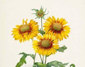 Galardia Flower Art Print, Gaillardia Botanical Art Print, Flower Wall Art, Flower Print, Floral Print, Redoute Art,yellow,green, Gaillardia