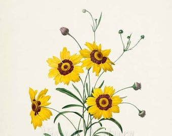 Botanical Print Tickseed Flower Art Print, Botanical Art Print, Flower Wall Art, Flower Print, Floral,Redoute Art, yellow, Coreopsis elegans