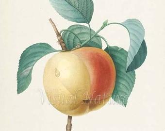 Apple Botanical Print, Apple Art Print, Fruit Art, Fruit Print, Kitchen Art, Garden, Redoute Art, Calville Blanc Fruit Tree Branch