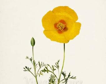 California Poppy Flower Art Print, Botanical Art Print, Flower Wall Art, Flower Print, Floral Print, Yellow Flower, Yellow Poppy Print