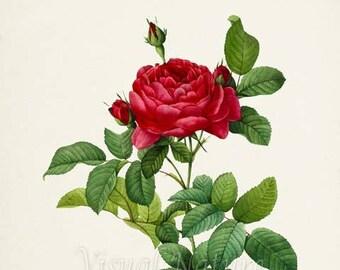 French Rose Flower Art Print, Botanical Art Print, Flower Wall Art, Flower Print, Floral Print, Red Rose Art Print, Home Decor