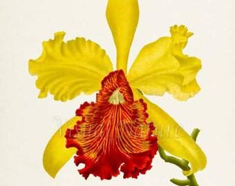Yellow Cattleya Flower Art Print, Botanical Art Print, Orchid Flower Wall Art, Flower Print, Floral Print,red, yellow orchid flower print