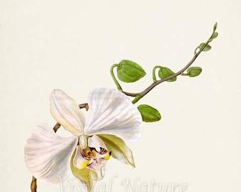 Moth Orchid Flower Art Print, Botanical Art Print, Flower Wall Art, Flower Print, Floral Print, white