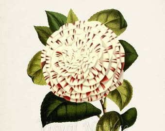 Camellia Japonica Flower Art Print, Botanical Art Print, Flower Wall Art, Flower Print, Floral Print, white, red