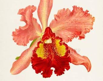 Cattleya Hardyana Flower Art Print, Botanical Art Print, Flower Wall Art, Flower Print, Floral Print, red, pink, yellow orchid flower print