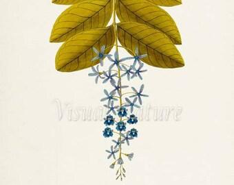 Sandpaper Vine Flower Art Print, Botanical Art Print, Flower Wall Art, Flower Print, Floral Print, Home Decor, Petrea, blue flower art print