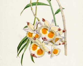 Devons Dendrobium Orchid Flower Art Print, Botanical Art Print, Flower Wall Art, Flower Print, Floral Print, Yellow White Orchid Flower