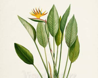 Bird of Paradise Flower Art Print, Botanical Art Print, Flower Wall Art, Flower Print, Floral Print, Yellow Flower, yellow orange flower art