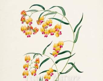 Parrot Pea Flower Art Print, Botanical Art Print, Flower Wall Art, Flower Print, Floral Print, Home Decor, yellow, pink