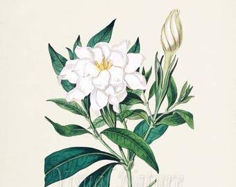 Cape Jasmine Flower Art Print, Botanical Art Print, Flower Wall Art, Flower Print, Floral Print, white