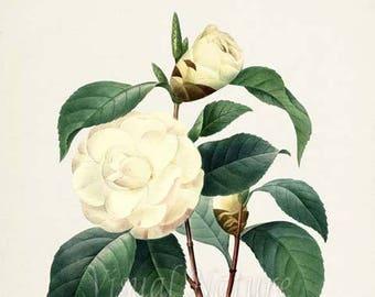 Japanese camellia Flower Art Print, Botanical Art Print, Flower Wall Art, Flower Print, Floral Print, Redoute Art, white, Camellia japonica