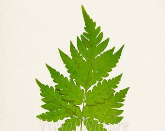Snail Fern Art Print, Botanical Art Print, Fern Wall Art, Fern Print, Botanical Print, Home Decor, green art print