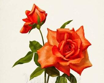 Mrs W J Grant Rose Flower Art Print, Botanical Art Print, Flower Wall Art, Flower Print, Floral Print, Red Rose Art Print, Home Decor