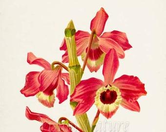 Dendrobium Nobile Orchid Flower Art Print,  Orchid Botanical Art Print, Flower Wall Art, Flower Print,Floral Print,red pink orchid art print