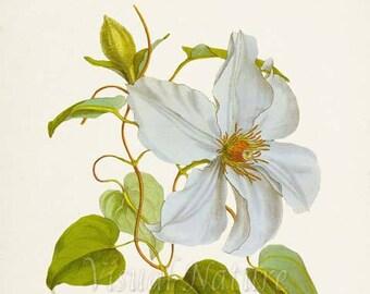 Clematis Candida Flower Art Print, Botanical Art Print, Flower Wall Art, Flower Print, Floral Print, white