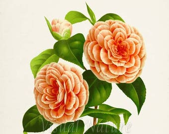 Camelia Albino Botti Flower Art Print, Botanical Art Print, Flower Wall Art, Flower Print, Floral Print, orange, peach