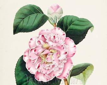 Camellia Japonica Flower Art Print, Botanical Art Print, Flower Wall Art, Flower Print, Floral Print, Home Decor, pink