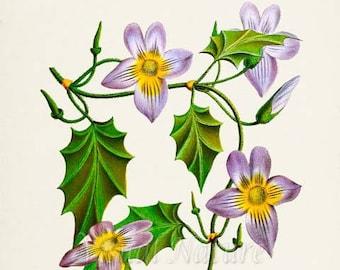 Blue Trumpet Vine Flower Art Print, Botanical Art Print, Flower Wall Art, Flower Print, Floral, blue purple yellow flower art print