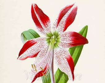 Barbados Lily Flower Art Print, Botanical Art Print, Flower Wall Art, Flower Print, Floral Print, red