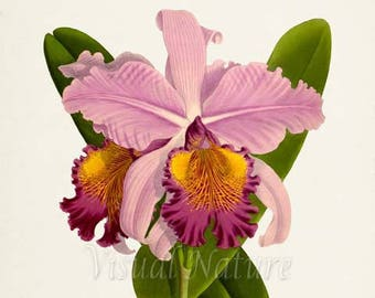 Orchid Cattleya Hardyana Flower Art Print, Botanical Art Print, Flower Wall Art, Flower Print, Floral Print,pink, yellow orchid flower print