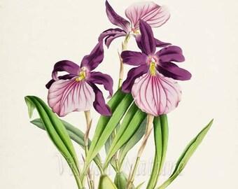 Morel's Miltonia Orchid Flower Art Print, Botanical Art Print, Flower Wall Art, Orchid Flower Print, Floral Print, Home Decor, purple