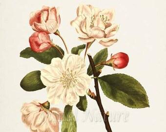 Asiatic Apple Flower Art Print, Botanical Art Print, Flower Wall Art, Flower Print, Floral Print, White Flower, Crabapple