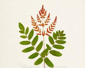 Osmunda Fern Art Print, Botanical Art Print, Fern Wall Art, Fern Print, Botanical Print, Home Decor, green art print
