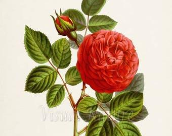 General Washington Rose Flower Art Print, Botanical Art Print, Flower Wall Art, Flower Print, Floral Print, Red Rose Art Print, Home Decor