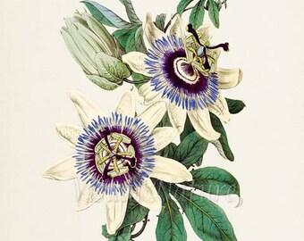 Blue Passion Flower Art Print, Botanical Art Print, Flower Wall Art, Flower Print, Floral, blue white flower art print