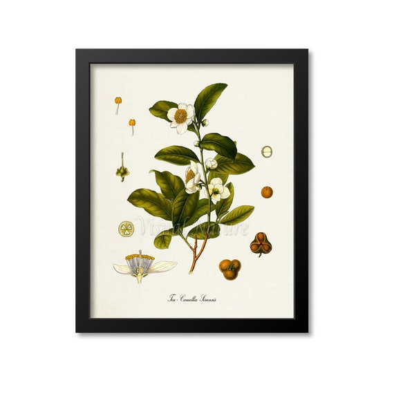 Tea Plant Botanical Print Camellia Decor Vintage Wall Art Picture Poster Gift