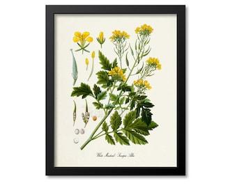 White Mustard Botanical Print, Mustard  Botanical Art Print, Mustard Wall Art, Mustard Decor, Kitchen Art Print, Sinapis Alba