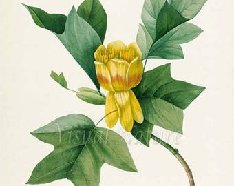 Tulip Flower Art Print, Botanical Art Print, Flower Wall Art, Flower Print, Floral Print, Redoute Art, yellow, green
