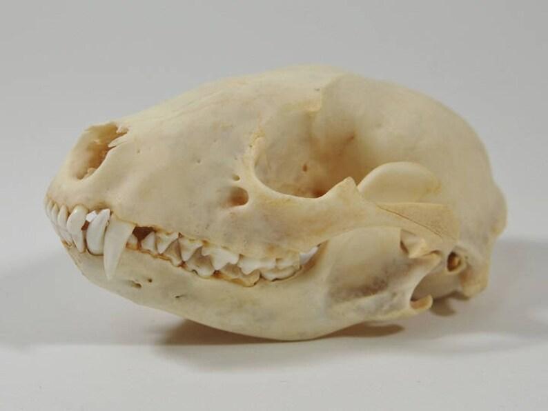 Real Raccoon Skulls (15-209)