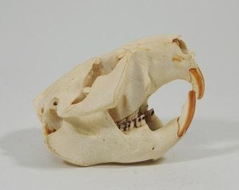 Real Beaver Skull (15-202)