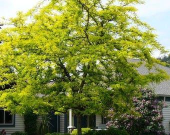 "LIVE Thornless Common Honey locust Tree Seedling 8-12""+ (Honeylocust) - Gleditsia triacanthos inermis"
