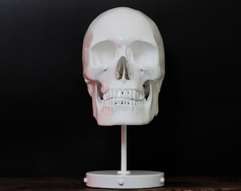 Ally Snow - Life Size Pure White Realistic Human Skull Bust on Display Stand Plinth / Skull Art / Statue / Ornaments / Home Decor