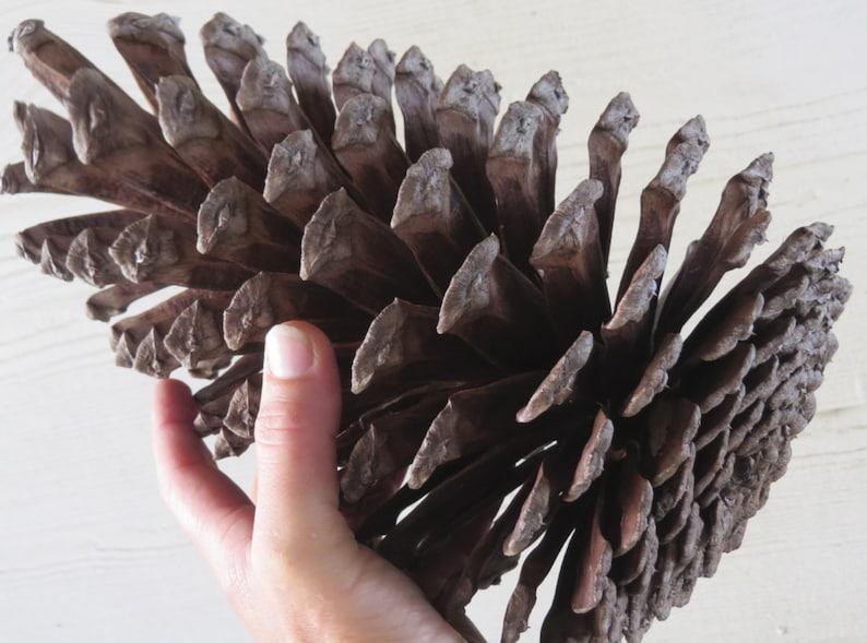 9-11 Jumbo Pine Cone Large Pine Cone Jumbo Pinecone image 0