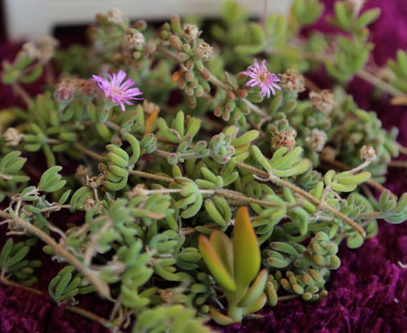 18 cuttings ice plant purple unrooted rare cactus succulent etsy 18 cuttings ice plant purple unrooted rare cactus succulent plant flower pink mightylinksfo