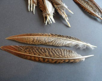 featured 12-15 cm, Golden Pheasant (tail) Tiger, pair bright