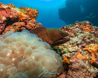 Moray Eel  Poster  -  Eel on coral reef - Underwater Photography  Marine life  gallery quality matte paper - Larger sizes available